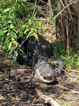Croc_Everglades