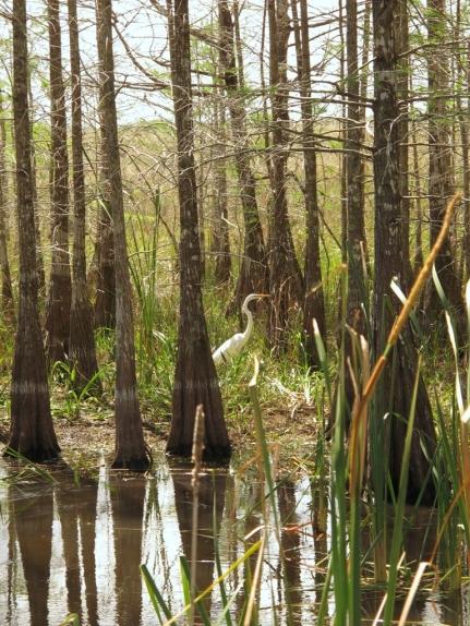 Egret in woods